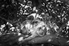 猕猴属fascicularis 免版税图库摄影