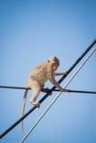 猕猴属fascicularis 免版税库存照片