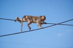 猕猴属fascicularis 库存照片