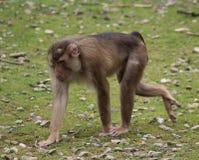 猕猴属nemestrina 库存图片