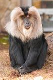 猕猴属silenus 免版税库存图片