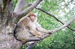 猕猴属sylvanus 库存照片