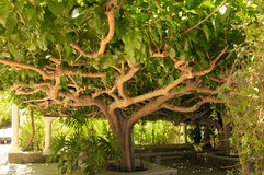 猕猴桃树 库存照片
