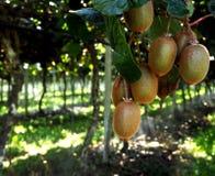 猕猴桃植物的有机耕种在意大利 库存照片