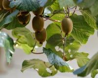 猕猴桃植物 库存图片