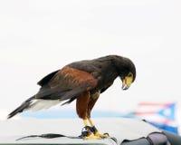 猛禽 免版税库存图片