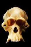 猩猩、人的祖先和人类演变的被重建的化石头骨 库存照片