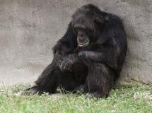 黑猩猩休息 免版税库存图片