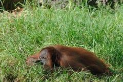 猩猩休息 库存照片