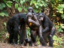 黑猩猩倭黑猩猩(平底锅paniscus) 免版税图库摄影