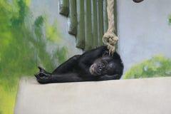 黑猩猩在动物园利贝雷茨里 免版税库存照片