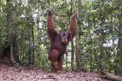 猩猩在密林 苏门答腊 免版税库存照片