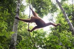 猩猩在密林 苏门答腊 免版税图库摄影