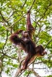 猩猩在新加坡动物园里 库存照片