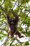猩猩在新加坡动物园里 图库摄影