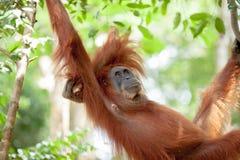 猩猩在苏门答腊 库存图片