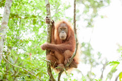 猩猩在苏门答腊 库存照片