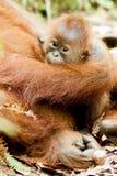 猩猩在苏门答腊 免版税库存图片