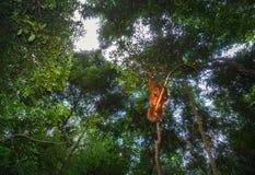 猩猩在苏门答腊gunung leuser公园在印度尼西亚 免版税库存图片