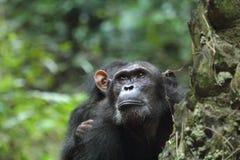 黑猩猩在雨林里 库存照片