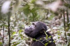 黑猩猩在Kibale森林,乌干达里 库存图片