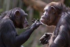 黑猩猩夫妇 免版税库存图片