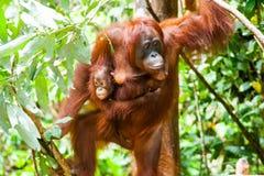 猩猩投入国家公园印度尼西亚的加里曼丹tanjung 免版税图库摄影