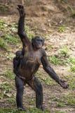 黑猩猩有站起来在她的腿和手的孩子的倭黑猩猩母亲 倭黑猩猩(平底锅paniscus) 免版税库存图片