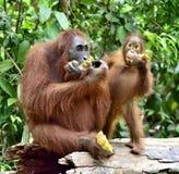 猩猩母亲和崽吃 在一个自然生态环境区域 Bornean猩猩类人猿在狂放的自然的pygmaeus wurmbii Rainf 库存照片