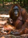 猩猩的女性与一个婴孩的小径的 滑稽的姿势 印度尼西亚 库存照片