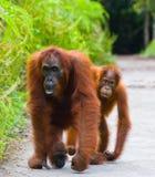 猩猩的女性与一个婴孩的小径的 滑稽的姿势 印度尼西亚 免版税图库摄影