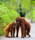 猩猩的女性与一个婴孩的小径的 滑稽的姿势 印度尼西亚 图库摄影