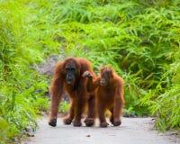 猩猩的女性与一个婴孩的小径的 滑稽的姿势 印度尼西亚 免版税库存照片