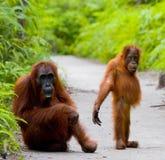 猩猩的女性与一个婴孩的小径的 滑稽的姿势 印度尼西亚 库存图片