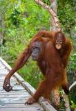 猩猩的女性与婴孩的在一个木桥去在密林 印度尼西亚 加里曼丹婆罗洲海岛  图库摄影