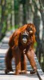 猩猩的女性与婴孩的在一个木桥去在密林 印度尼西亚 免版税库存图片