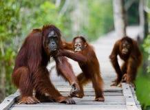 猩猩的女性与婴孩的在一个木桥去在密林 印度尼西亚 免版税库存照片