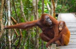 猩猩的女性与婴孩的在一个木桥去在密林 印度尼西亚 图库摄影