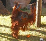 猩猩的早晨锻炼 库存图片