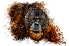 猩猩的画象 免版税库存照片