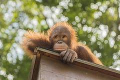 猩猩看 库存照片