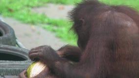 猩猩类人猿pygmaeus削皮椰子 危险的地方性婆罗洲动物 股票视频