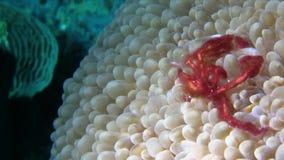 猩猩螃蟹Oncinopus sp 在强流的泡影珊瑚在王侯Ampat 股票录像