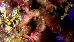 猩猩螃蟹Oncinopus sp 在沙子在夜Lembeh海峡 股票视频