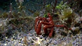 猩猩螃蟹Oncinopus sp 在沙子在夜Lembeh海峡 影视素材