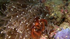 猩猩螃蟹Oncinopus sp 在银莲花属在Lembeh海峡苏拉威西岛 股票视频