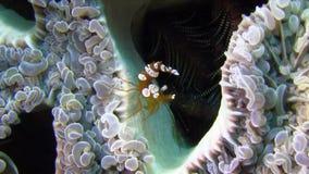 猩猩螃蟹Oncinopus sp 并且在泡影珊瑚的性感的银莲花属虾托尔amboinensis在王侯Ampat的强流 影视素材