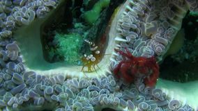 猩猩螃蟹Oncinopus sp 并且在泡影珊瑚的性感的银莲花属虾托尔amboinensis在王侯Ampat的强流 股票录像