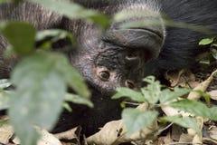 黑猩猩,基巴莱国家公园,乌干达画象  库存图片