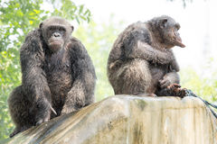 黑猩猩,曼谷,泰国 免版税图库摄影